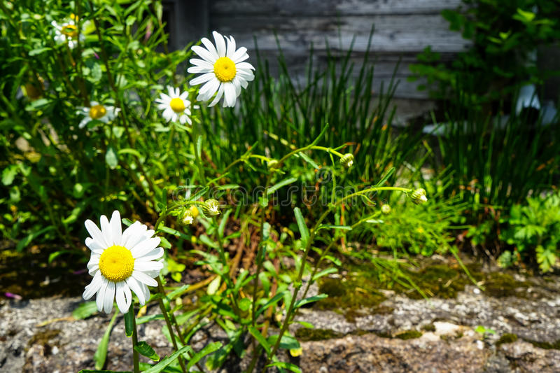 White daisy flowers blooming with yellow pollen on street side among green leaves on sunshine day royalty free stock photos