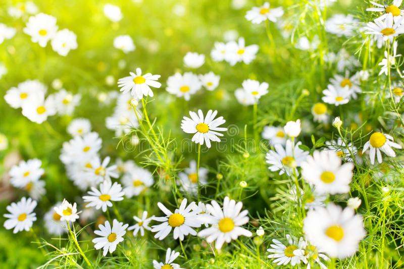 White daisy flowers on blurred green grass and sunlight background close up, chamomile flower blossom meadow on summer sunny day stock photo
