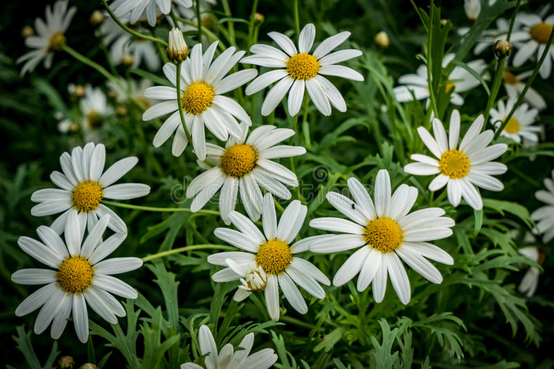 White daisy flowers. On blurred green leaves stock photo