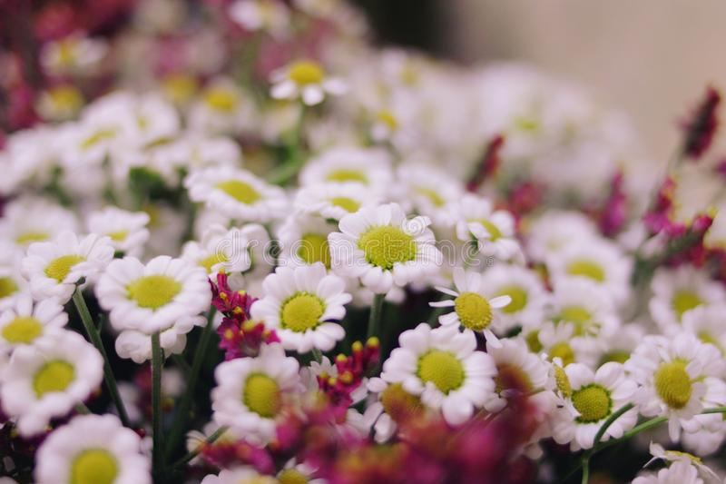 White daisy flowers in a bouquet royalty free stock photo