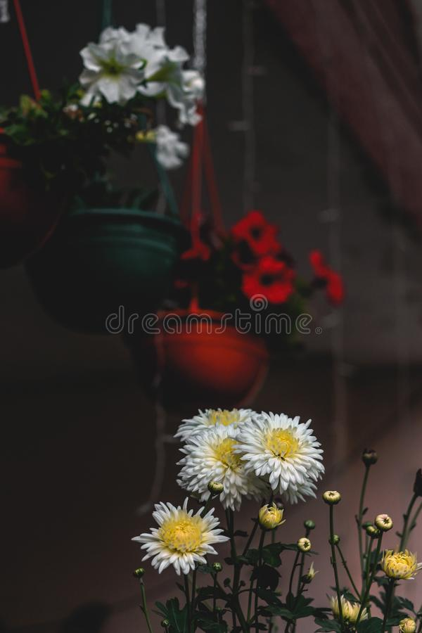 White Daisy Flowers In Focus Photography Free Public Domain Cc0 Image