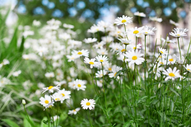 White daisy flowers on green grass and blue sky blurred bokeh background close up, chamomile field on sunny summer day, camomile royalty free stock image