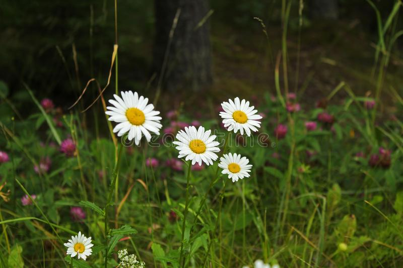 White daisy flowers in green grass on a summer meadow stock images