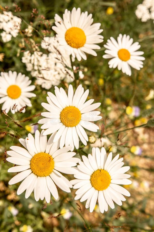 White Daisy Flowers on Green Meadow Field. Nature and Gardening Concept. White Oxeye Daisy Flowers on Green Meadow Field. Nature and Gardening Concept royalty free stock image