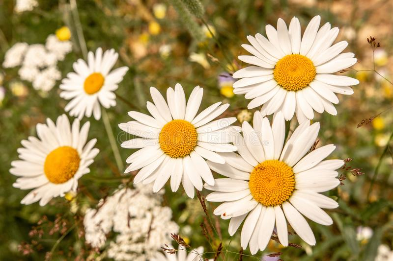 White Daisy Flowers on Green Meadow Field. Nature and Gardening Concept. White Oxeye Daisy Flowers on Green Meadow Field. Nature and Gardening Concept stock photography