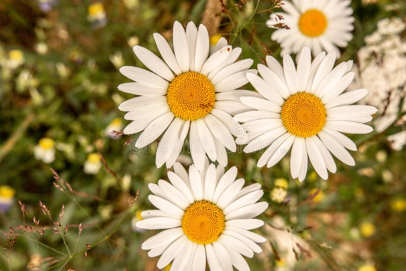 White Daisy Flowers on Green Meadow Field. Nature and Gardening Concept. White Oxeye Daisy Flowers on Green Meadow Field. Nature and Gardening Concept royalty free stock photo