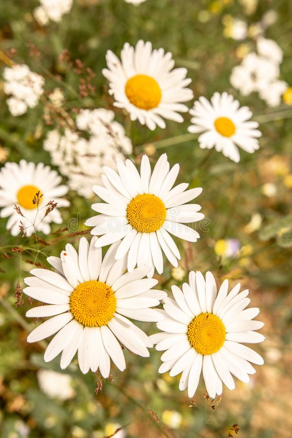 White Daisy Flowers on Green Meadow Field. Nature and Gardening Concept. White Oxeye Daisy Flowers on Green Meadow Field. Nature and Gardening Concept royalty free stock photos