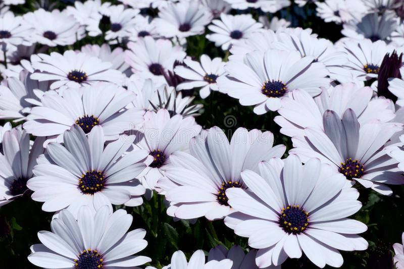 white daisy flowers field African daisy or Osteospermum ecklonis or Cape marguerite stock photos