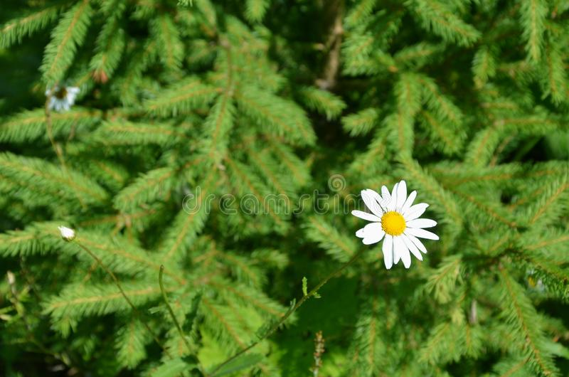White daisy in the forest. On the background of green branches of spruce. Beautiful natural background with free space. Image stock photography