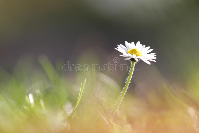 White daisy in garden during spring. Green blurry background with bokeh royalty free stock images