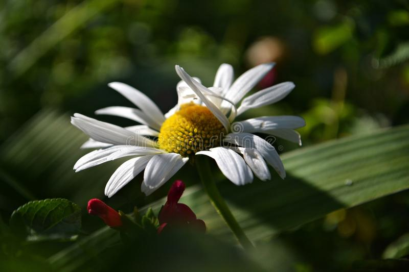 White daisy in a green leaf. Macro and closeup photography stock images