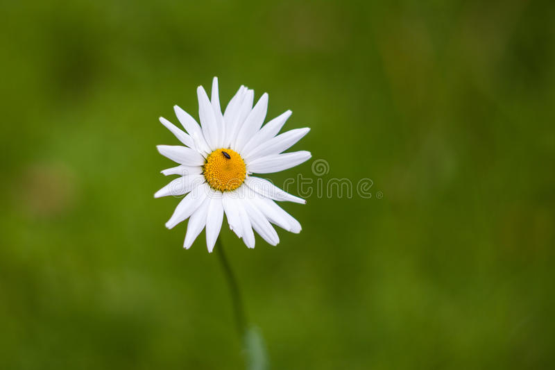 White daisy and a little beetle stock photo