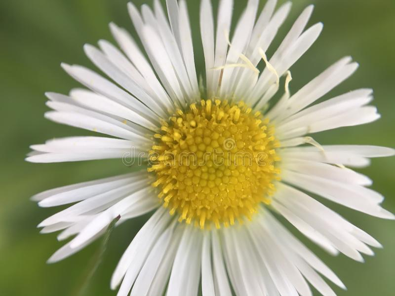 White Daisy macro closeup with blurry green grass background royalty free stock images