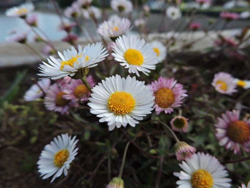 White daisy with macro royalty free stock photo