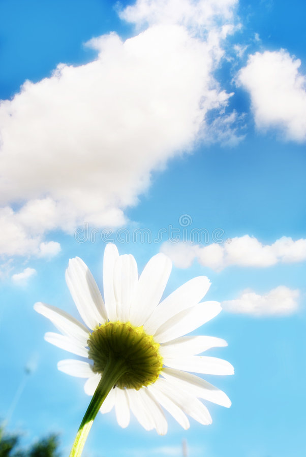 White daisy in spring royalty free stock photos