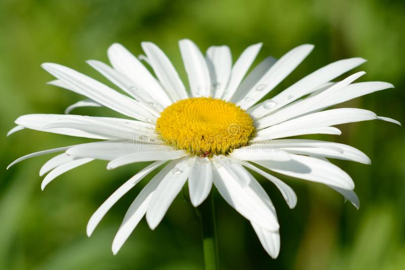 White daisy in summer on the garden royalty free stock photo