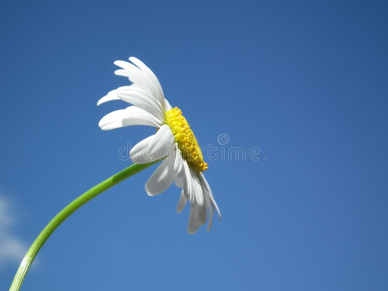 White Daisy Under Blue and White Cloudy Sky stock photo