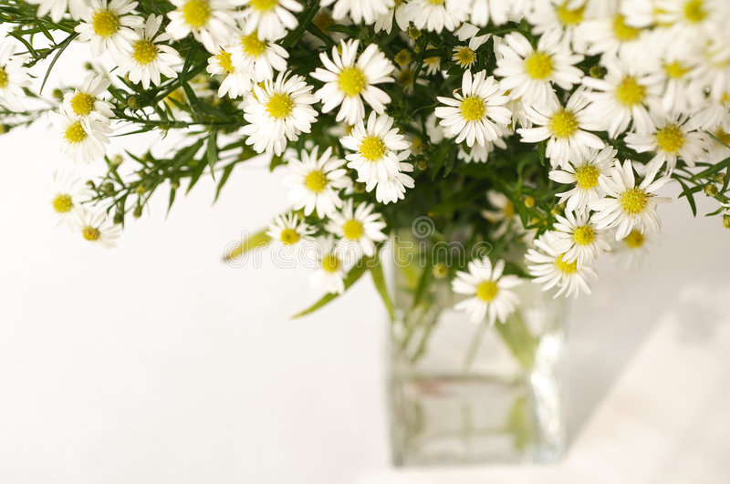 White daisy in a vase. In white background royalty free stock images