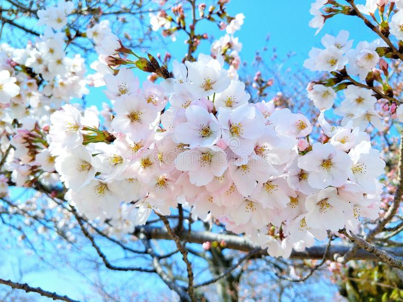 White Dakota is blooming in the park the most beautiful flower in Japan. Cherry Blossom royalty free stock photos