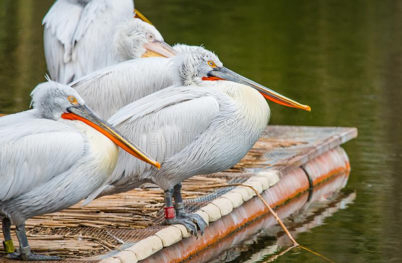 White Dalmatian pelicans. The Dalmatian pelican, Pelecanus crispus, is the most massive member of the pelican family. Their curly nape feathers, grey legs and royalty free stock photo