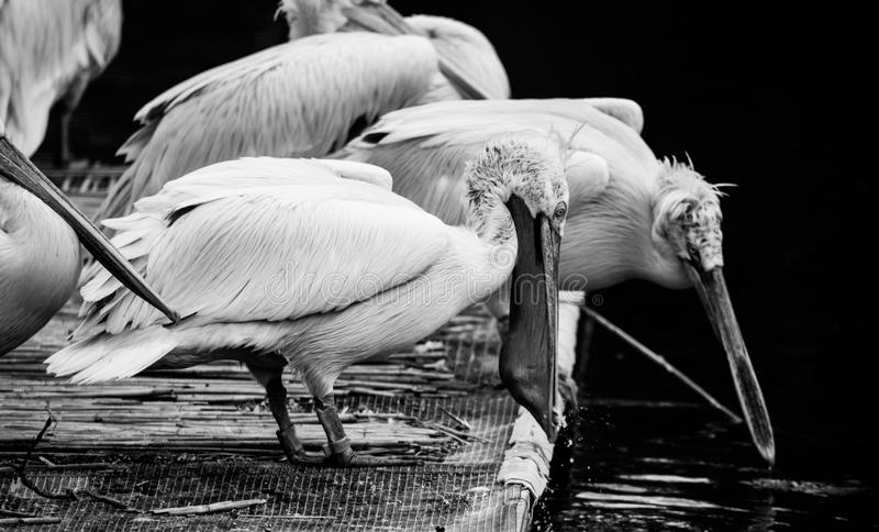White Dalmatian pelicans. The Dalmatian pelican, Pelecanus crispus, is the most massive member of the pelican family. Their curly nape feathers, grey legs and royalty free stock photos