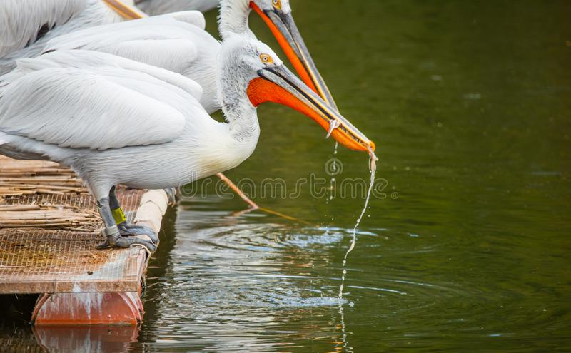 White Dalmatian pelicans. The Dalmatian pelican, Pelecanus crispus, is the most massive member of the pelican family. Their curly nape feathers, grey legs and stock photos