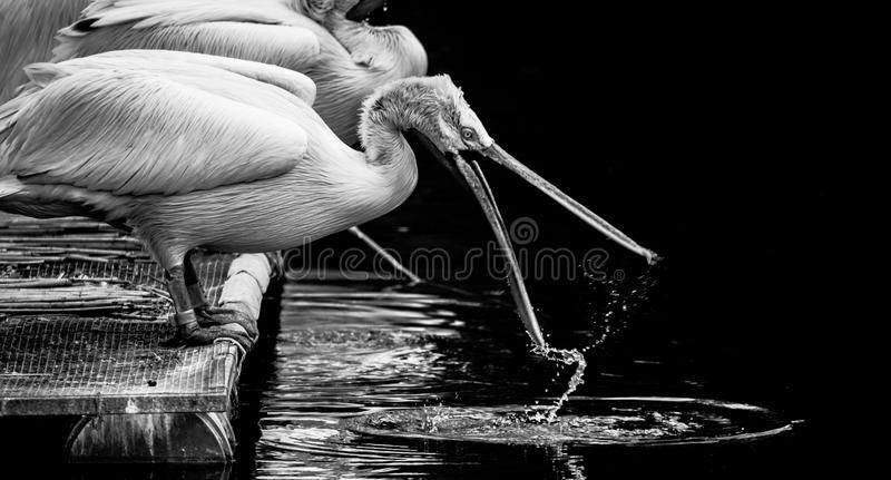White Dalmatian pelicans. The Dalmatian pelican, Pelecanus crispus, is the most massive member of the pelican family. Their curly nape feathers, grey legs and royalty free stock image