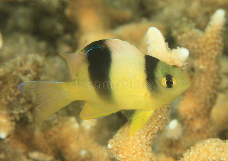 White damsel - juvenile. (dischistodus perspicillatus) fish with hard corral behind - Lembeh Strait, North Sulawesi, Indonesia stock photo