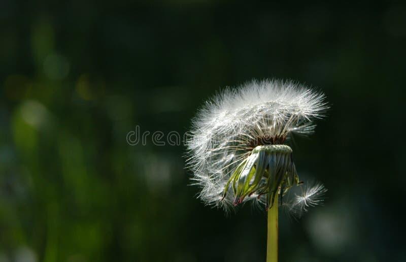 White Dandelion royalty free stock photo