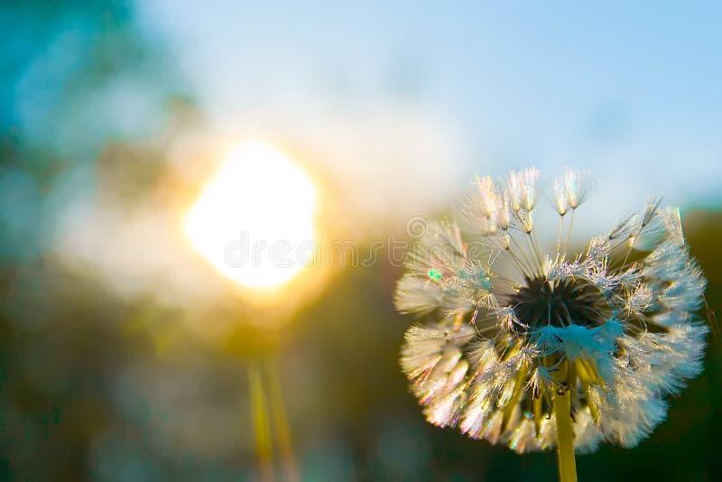 White dandelion. On blue sky royalty free stock images