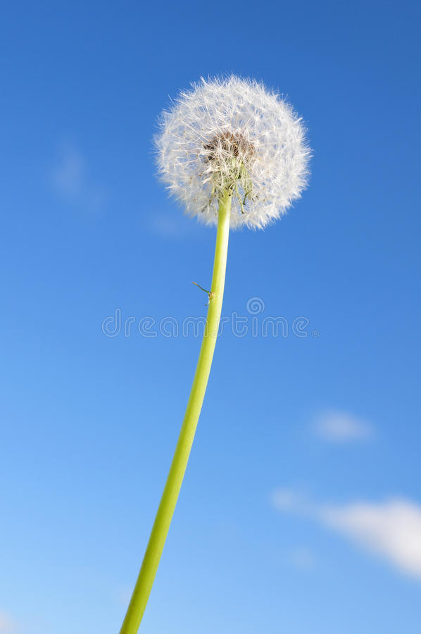 White Dandelion Stock Photography
