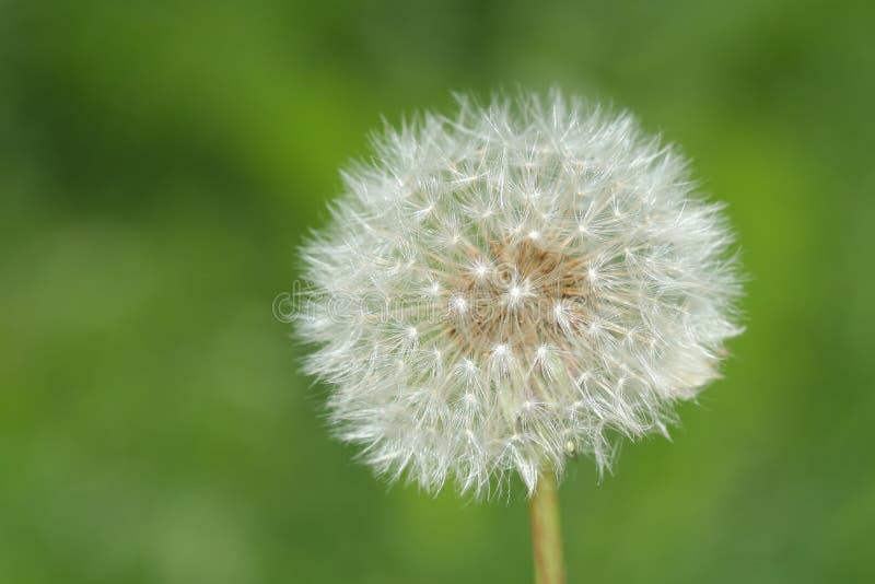 White dandelion stock photo