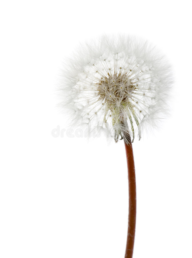 White dandelion stock photography