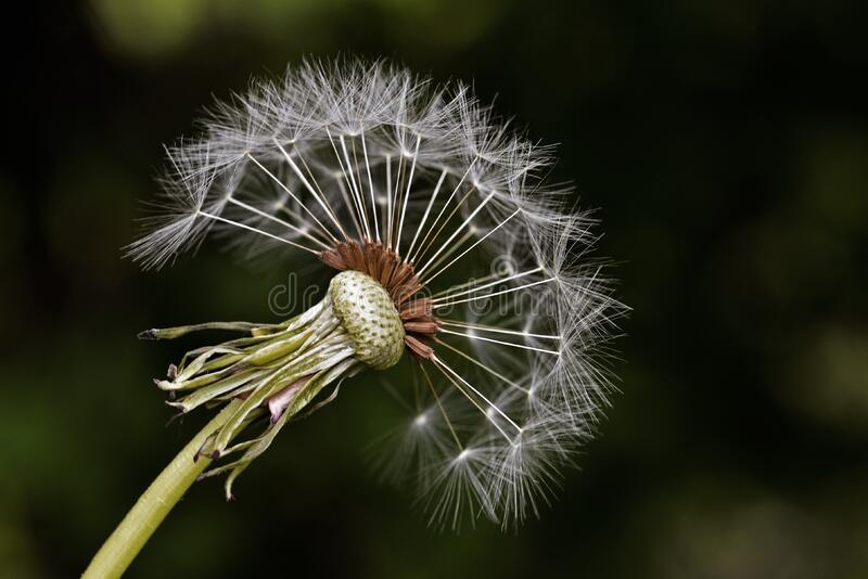 White Dandelion Free Public Domain Cc0 Image
