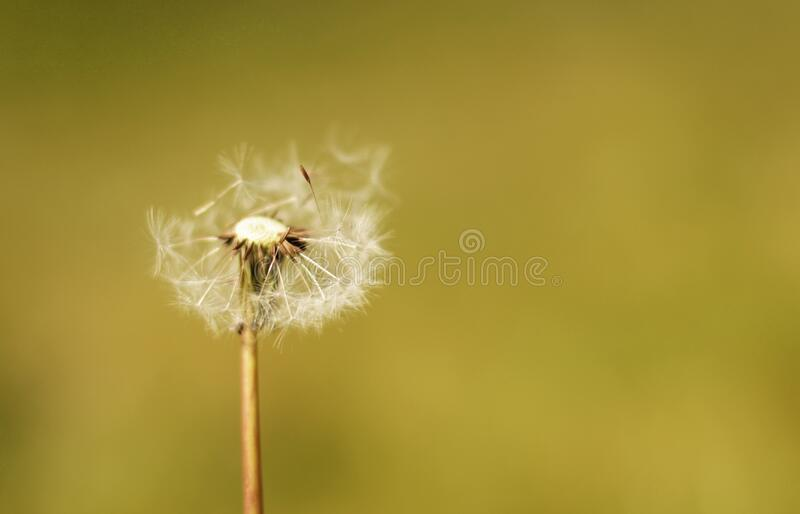 White Dandelion royalty free stock images