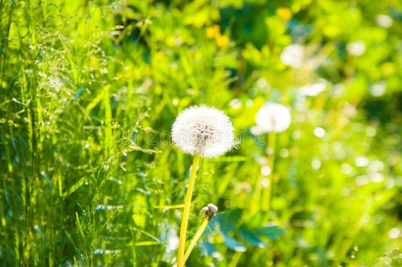 White dandelion on a background of bright green grass. Summer day on the lawn. The sun is shining royalty free stock photo