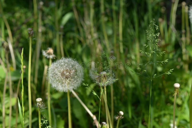 White dandelion on blurred background of herbal meadow in summer.  royalty free stock photos