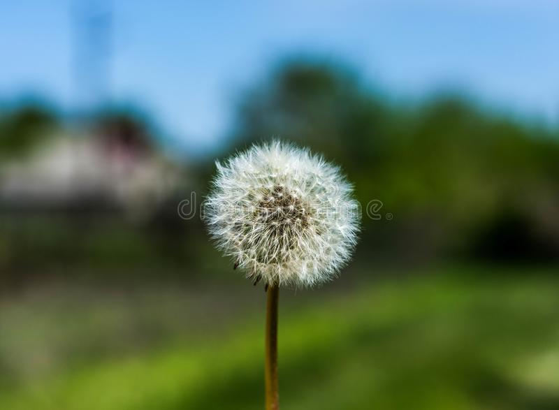White dandelion on bright background royalty free stock image