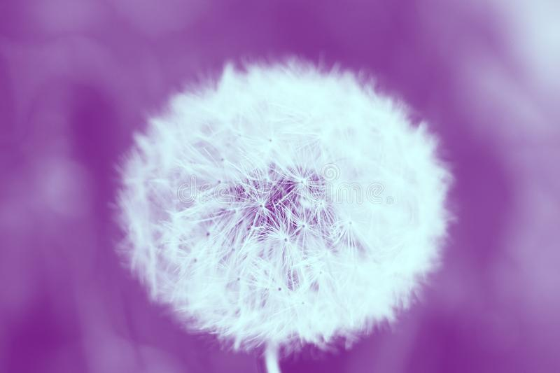 White dandelion close-up, macro photograph, pink background.  royalty free stock photography