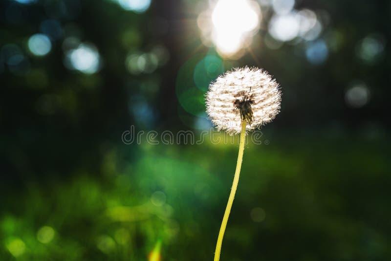 White dandelion flower on blurred green background stock images