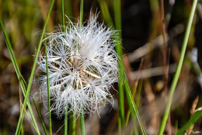 White Dandelion Flower at Daytime stock photography