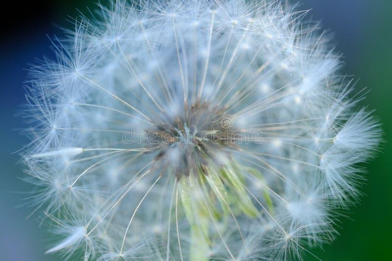 White Dandelion Flower Macro. A high detail macro shot of a seed head of white dandelion (taraxacum officinale) flower - horizontal orientation stock photos