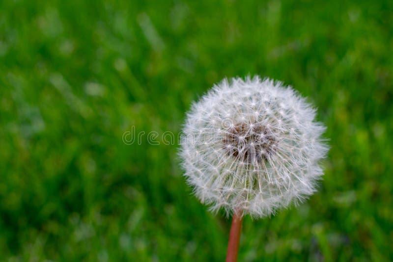 A White Dandelion on a Grass Lawn. A White Fluffy Dandelion on a Bright Green Grass Lawn stock photography