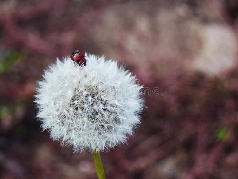 White dandelion with a ladybug on a blurred background close-up. Selective focus royalty free stock photo