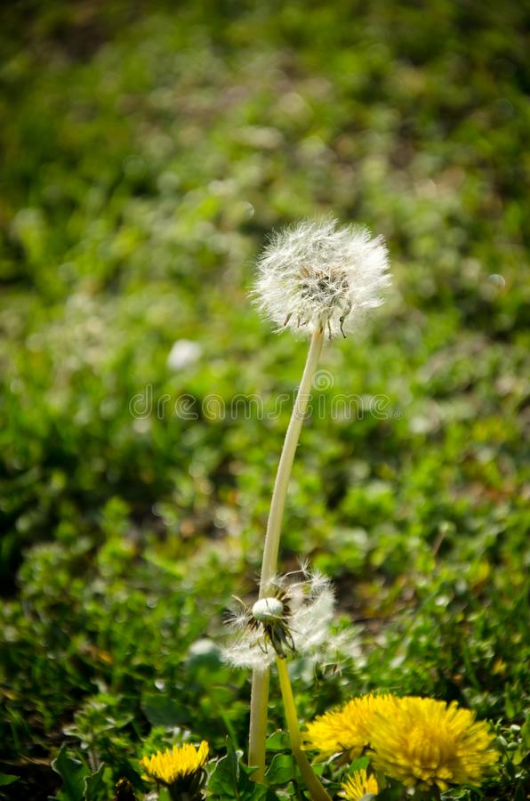 White dandelion on a lawn. Beautiful white dandelion on a lawn, blurred green background stock image