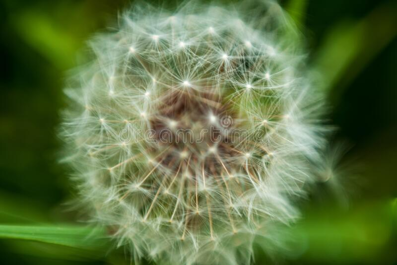 A white dandelion in macro. On the forest grass  in the garden grass of the house stock images