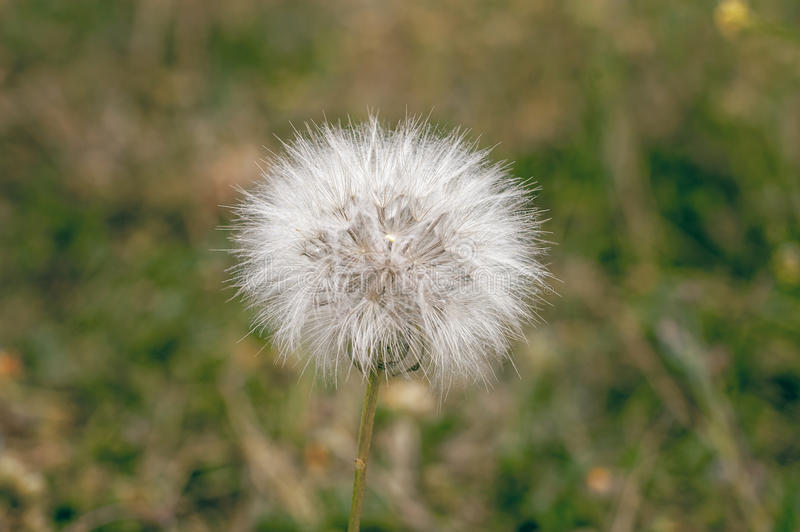 White dandelion in a meadow in the rays of the sun. stock photos