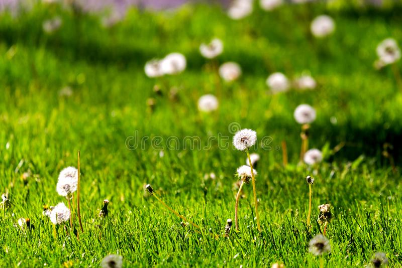 White dandelion on the meadow. In city park, sunlight, field, grass, spring, green, summer, nature, flower, blowing, beautiful, outdoor, natural, season, plant stock images
