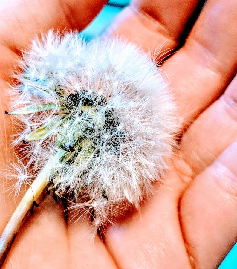 White Dandelion on Person's Hand stock images