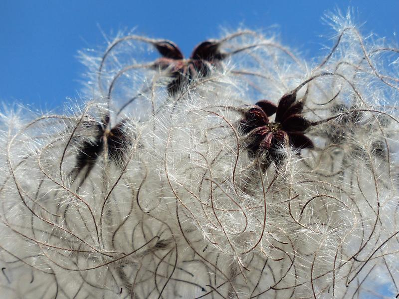 White Dandelion Seed stock photography
